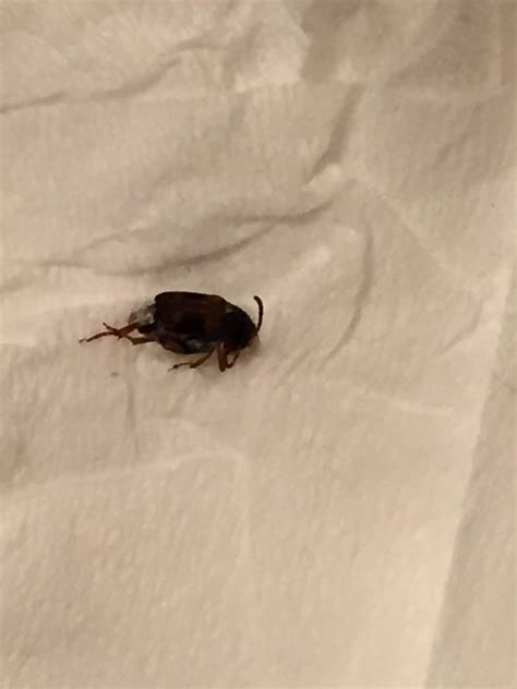 small jumping bugs in bathroom small black brown little bugs all over house ask an expert