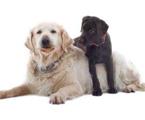 house training an old dog bringing a new puppy into your old dog s home the dogington post