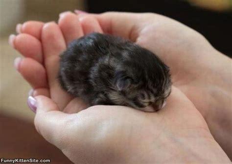 newborn kittens so very tiny funnykittensite com