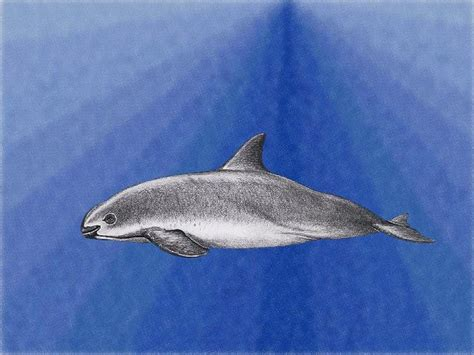 mexico worlds smallest whale threatened  extinction dear kitty  blog