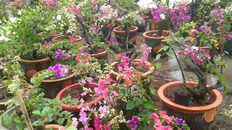 tanaman hias bunga kertas aneka warna youtube