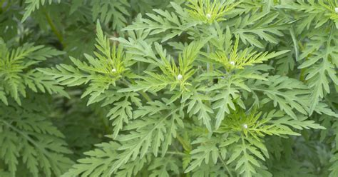 Garten Pflanzen Erkennen by Allergie Pflanze Ambrosia Erkennen Und Bek 228 Mpfen Mein
