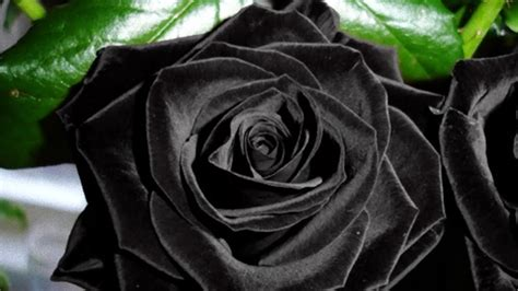 rose can this rare black rose can only be found in turkey youtube