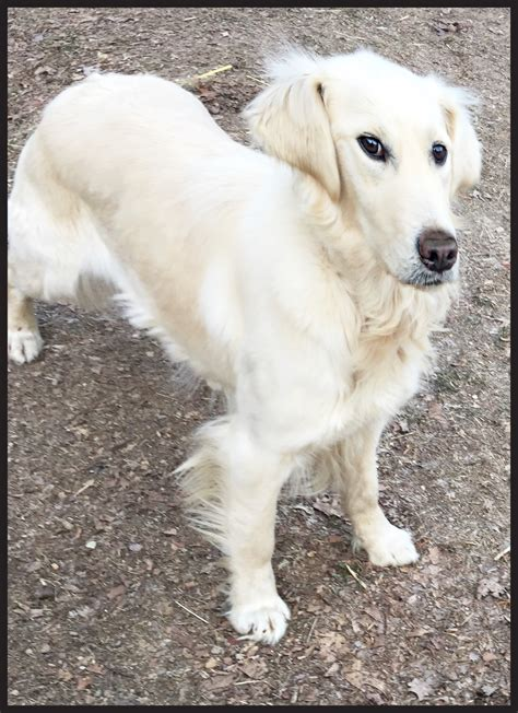 golden retriever breeders nc golden retriever breeders new hshire assistedlivingcares