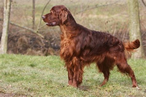 list of setter dog breeds an introduction to the setter dog breeds pets4homes