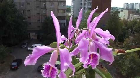 Cattleya Maxy cattleya maxima jorg orchids