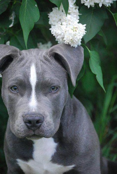 grey pitbull puppy loveeee gray pittys xo cuteness