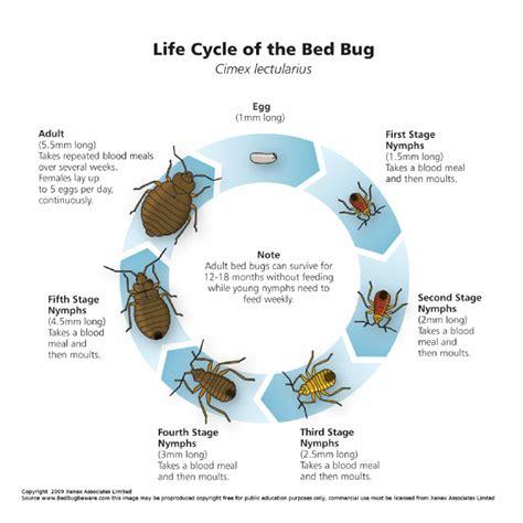 bed bug cycle about bedbugs