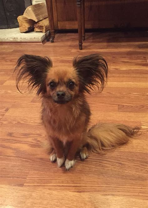 cuts for chihuahua papillon mix my gizmo big ears white paws cute face chihuahua and