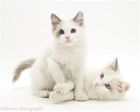 and kitten ragdoll cat and kitten photo wp31125