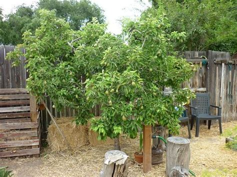 backyard orchard culture 17 best images about backyard orchard culture on pinterest gardens hold on and