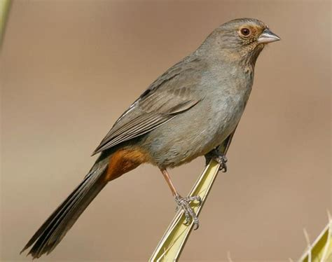 california towhee seen in point reyes ca in may