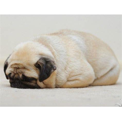 pug sleeping adorable sleeping pug