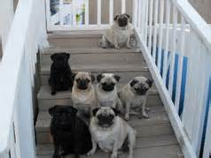 black pugs vs fawn pugs masse s pudgy pugs pug breeder akc registered pug chion line pugs black