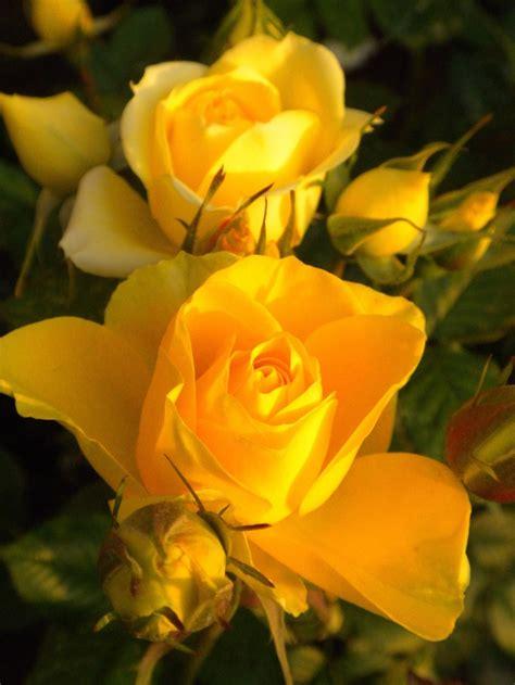 themes yellow rose beautiful yellow roses garden variety pinterest