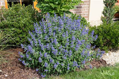 Usda Home Search by Caryopteris X Clandonensis Blue Balloon 174 Havlis Cz