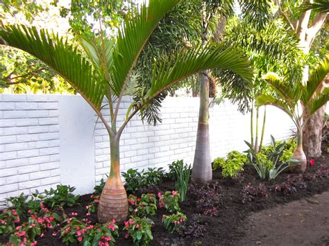 Small Backyard Houses Plant Of The Week The Bottle Palm Hyophorbe Lagenicaulis