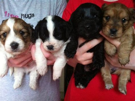corkie puppies beautiful quot corkie quot puppies stourport on severn worcestershire pets4homes