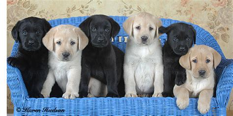 lab puppy cost labrador retriever puppies cost photo