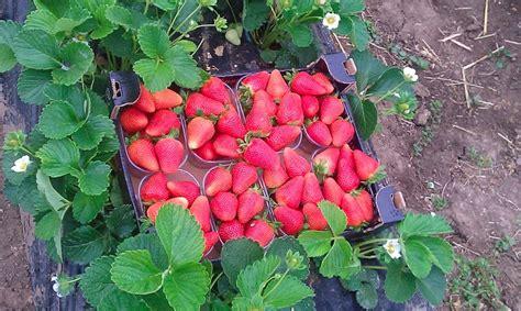 concime per fragole in vaso coltivare la fragola in biologico agronotizie vivaismo