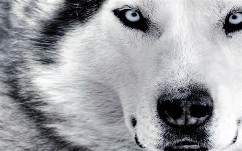 wallpaper hd wolf wolf latest hd wallpapers latest hd wallpapers