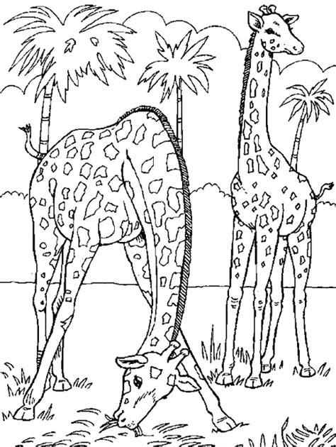 giraffe habitat coloring pages coloriage dans la savane girafes 224 colorier allofamille