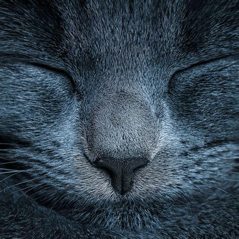 freeios ae sleeping blue cat zoom nature parallax