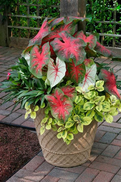 the striking shade loving caladiums are the thrillers the tallest plants in the pot which add