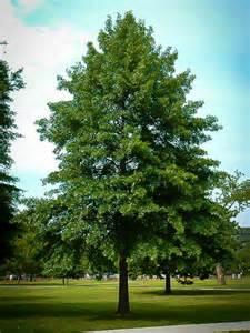 buy oak trees online the tree center