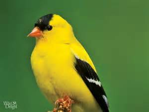 american goldfinch www imgkid com the image kid has it