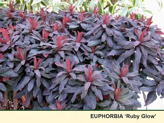 arts nursery cool plant blog  plant euphorbia