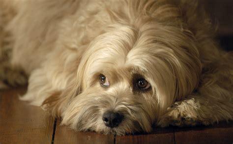 benji the benji canine superstar adoption official website joe c
