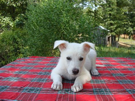 all white german shepherd puppies white german shepherd puppies tn breeders rolling h farms