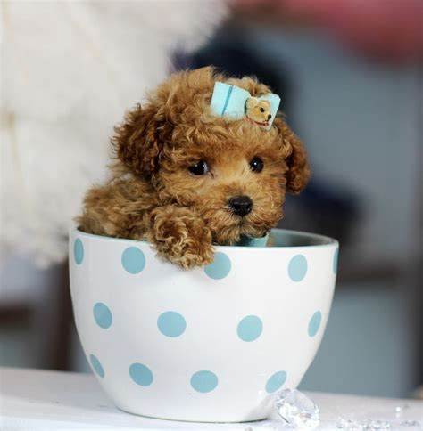 cup puppy 17 best ideas about teacup poodle puppies on teacup animals poodles
