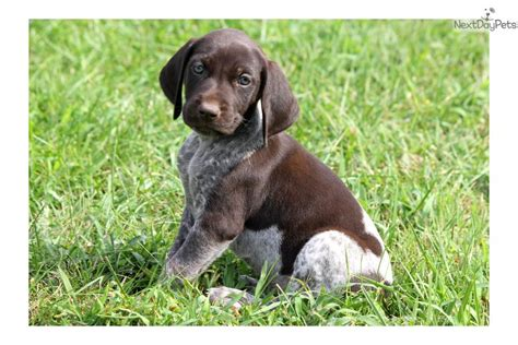 german shorthaired pointer puppies price german shorthaired pointer puppy for sale near lancaster pennsylvania 6e994bd3 e6f1