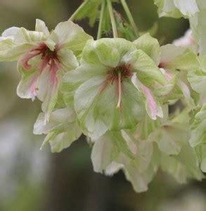 insieme di fiori nome collettivo il ciliegio da fiore sembra una nuvola