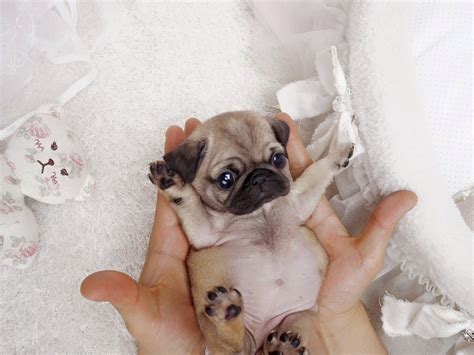 newborn pug puppies for sale teacup pug puppies for sale and from breeders with prices