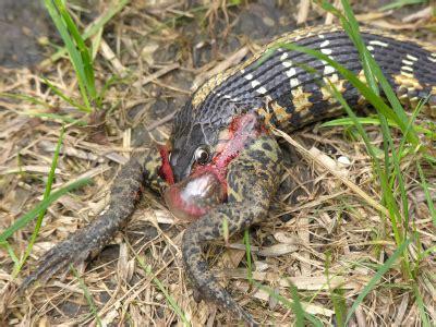 Garden Snakes Eat Garter Snake Care Housing Feeding And Caring For Garter