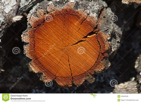 Tree Trunk Cross Section by Cross Section Of Tree Trunk Stock Image Image 45434345