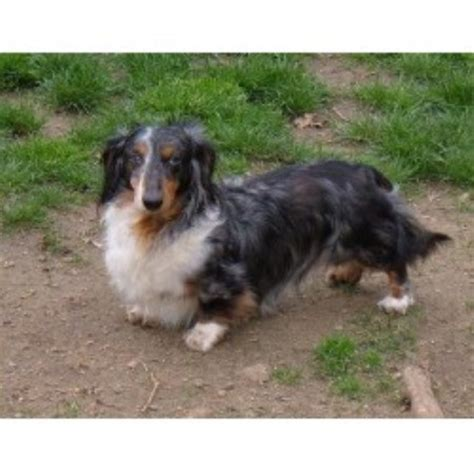 dachshund puppies pa dachshund doxie breeders in pennsylvania freedoglistings