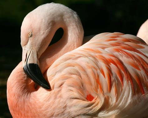 flamingos mac wallpaper 1280x1024 chilean flamingo desktop pc and mac wallpaper