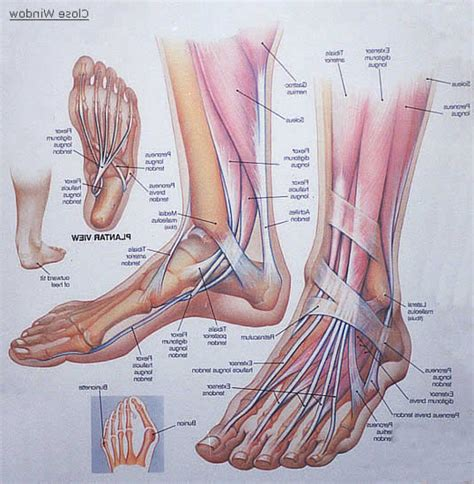 ankle skeleton diagram foot and ankle muscles diagram big