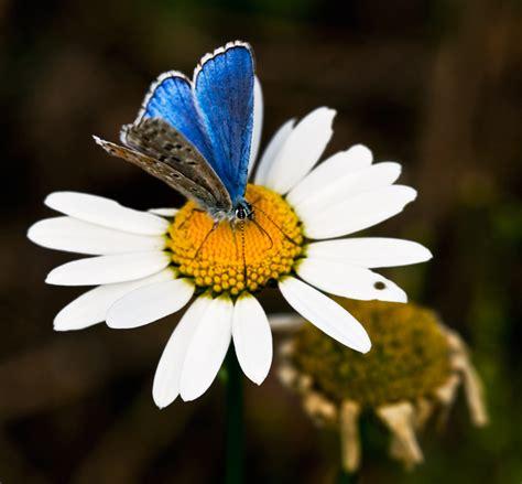 foto farfalle e fiori margherita e la farfalla foto immagini natura piante