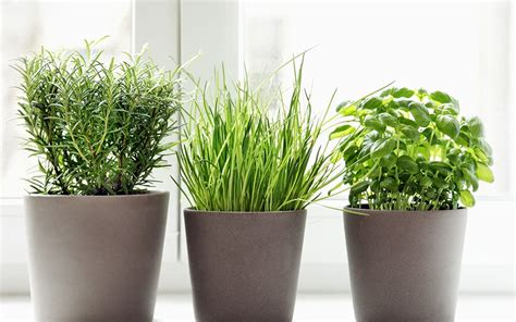 Herbs Windowsill by How To Grow Herbs Indoors And Outdoors David Domoney