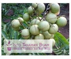 Bibit Kelengkeng Rasa Durian bibit lengkeng aroma durian jenis lengkeng unggul