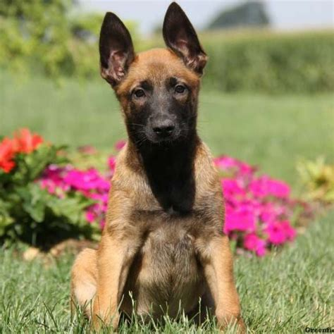 belgian malinois puppies for sale in pa belgian malinois puppies for sale greenfield puppies