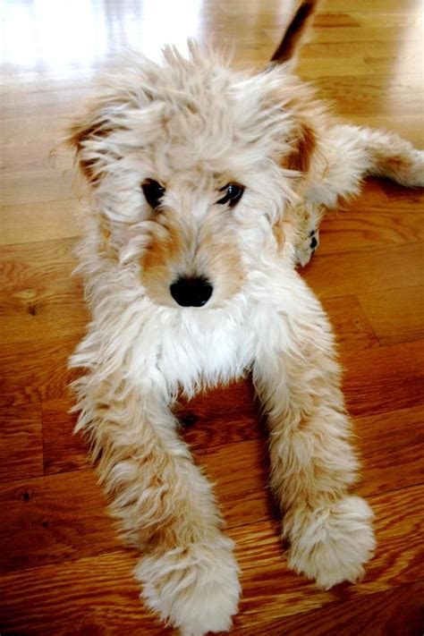 goldendoodle puppy jacksonville 46 best images about i want my goldendoodle or labradoodle
