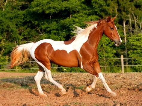 painting horses meet the american paint history characteristics