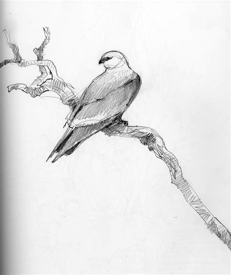 Drawing N Sketches by American Bird Sketches Drawing The Motmot