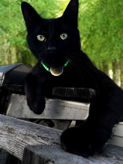 images cute feline abandoned black cat eyes whiskers vertebrate bombay rescue